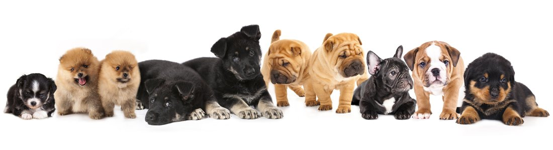 buy puppies in sarasota Petland Sarasota Pet Store Puppies for sale, Dog Breeds Info