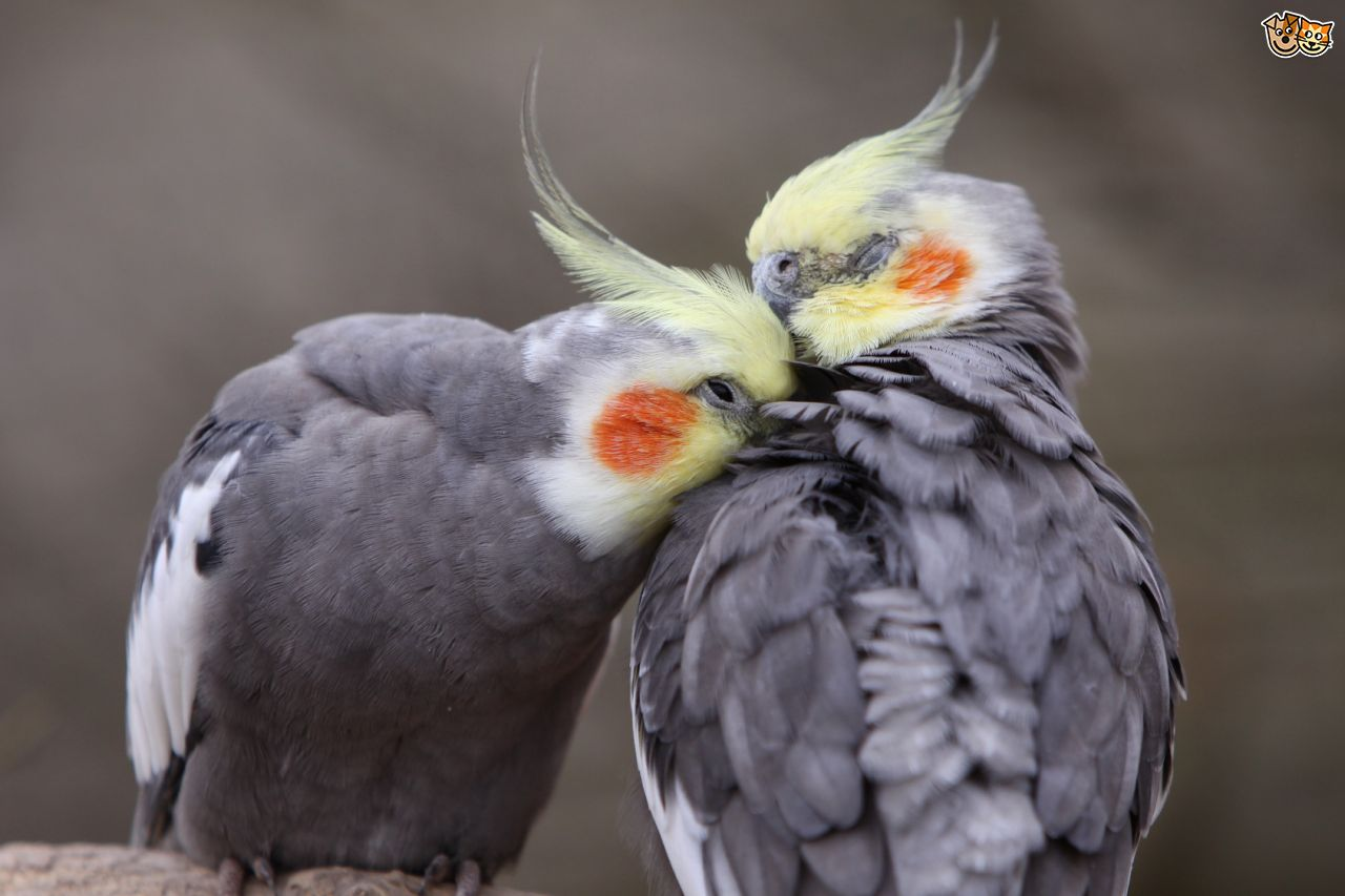 10 Interesting Facts About the Cockatiel!