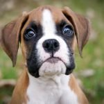 boxer puppies for sale, Petland Sarasota Pet Store Puppies for sale, Dog Breeds Info