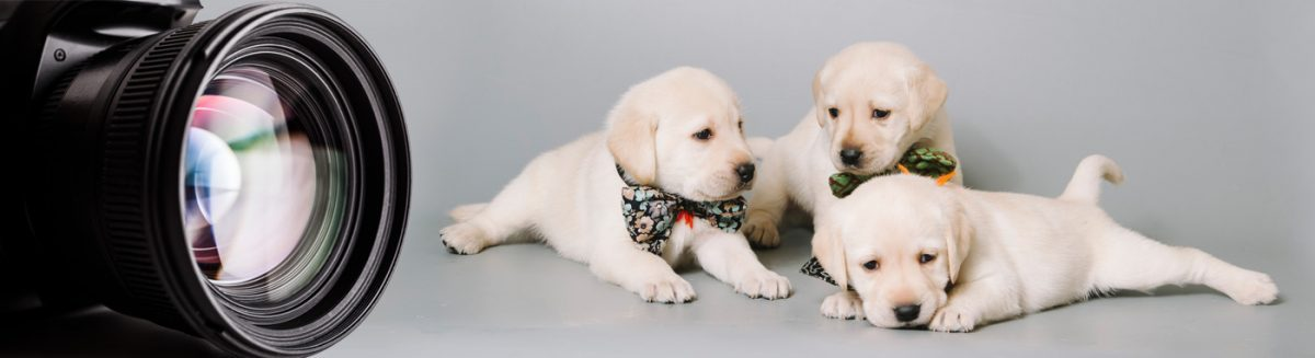 Petland Sarasota Pet Store Puppies for sale, Dog Breeds Info