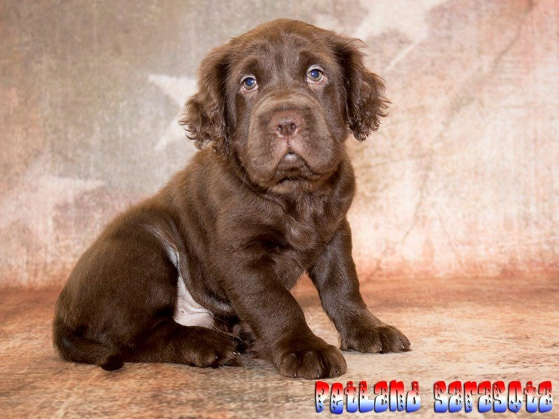 Sarasota Dogs And Puppies For Sale