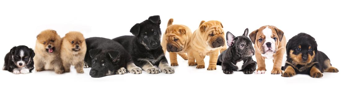 buy puppies in sarasota Petland Sarasota Pet Store Puppies for sale, Dog Breeds Info