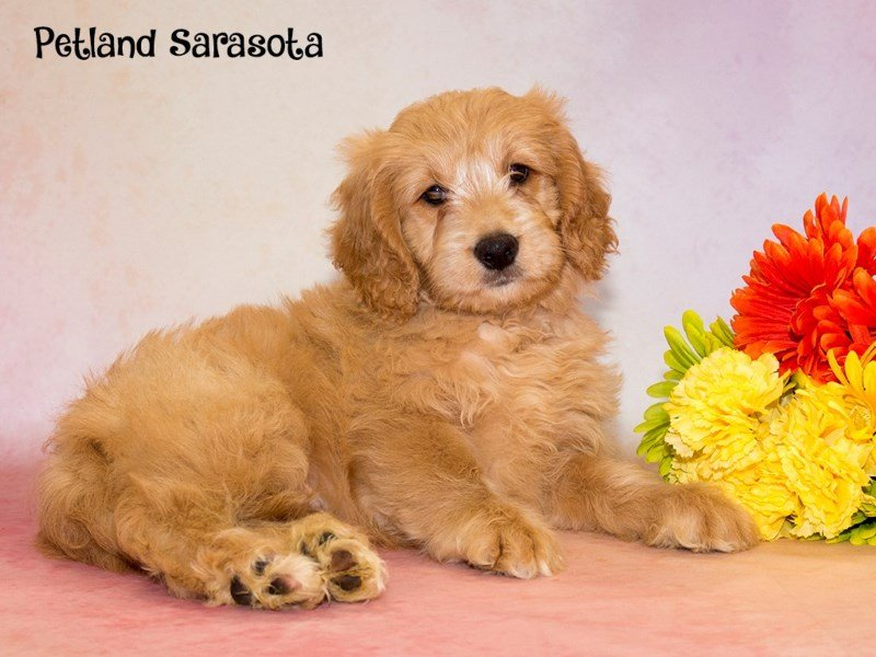 Miniature Goldendoodle Puppies – A Whole Bunch of Cuteness in a Small Package!
