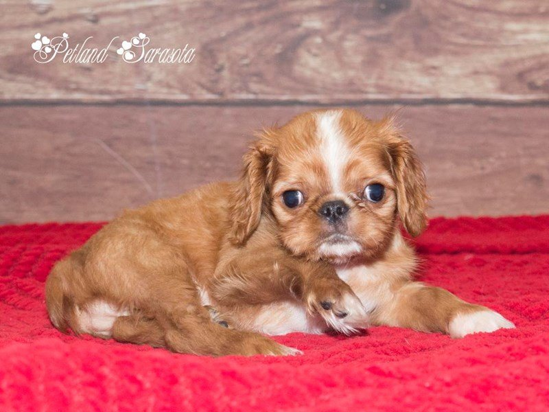 English Toy Spaniel-Male-RD & WH-1728276-Petland Sarasota