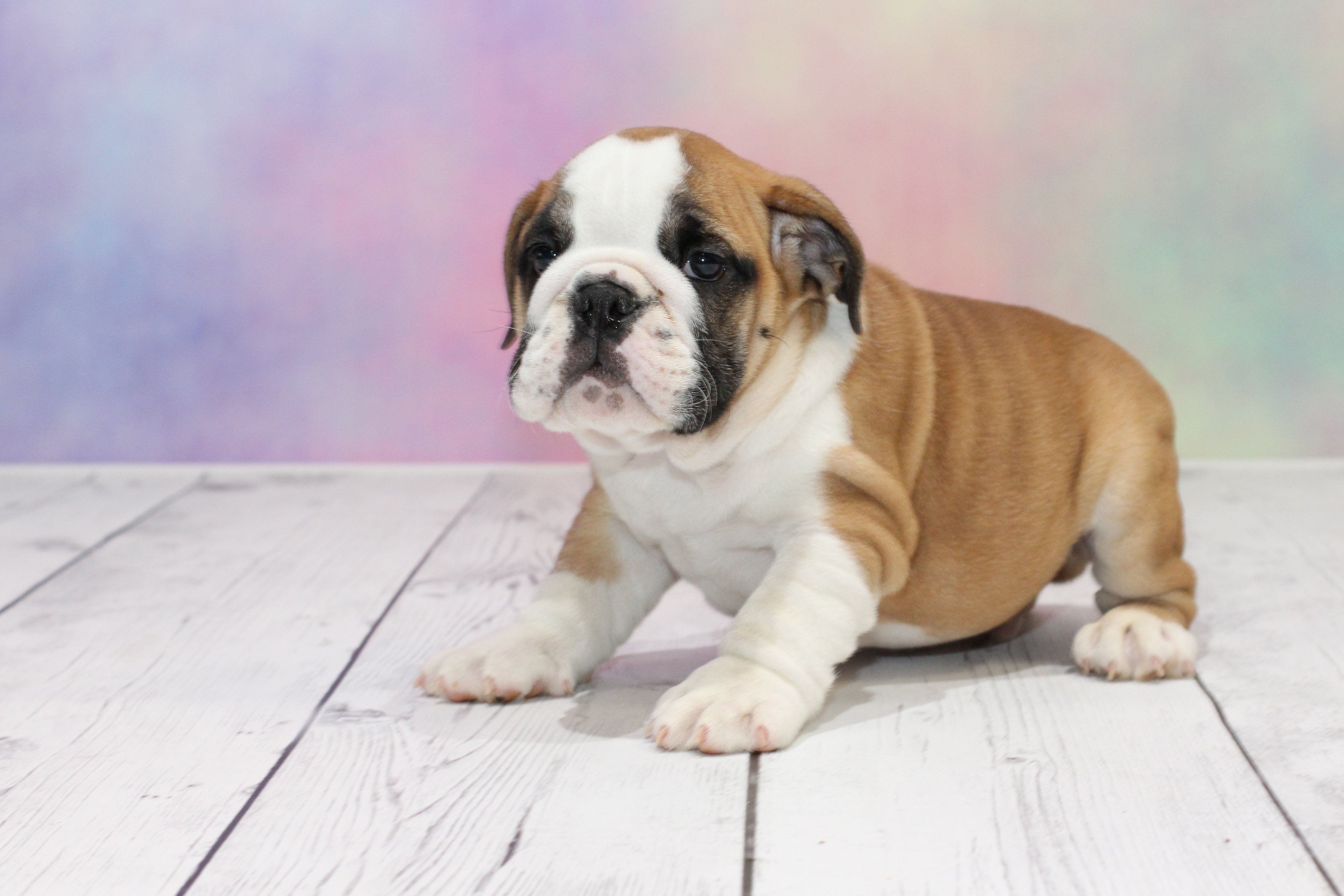English Bulldog Puppies For Sale Do Yourself A Favor And Get One Of These Loyal Pups