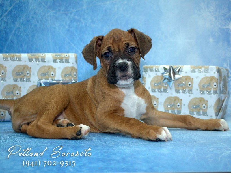 Boxer Puppies For Sale Dont Let This Sweet Breed Pass You By