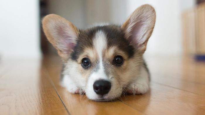 Corgi Puppies For Sale Dont Miss Out On This Quirky Breed