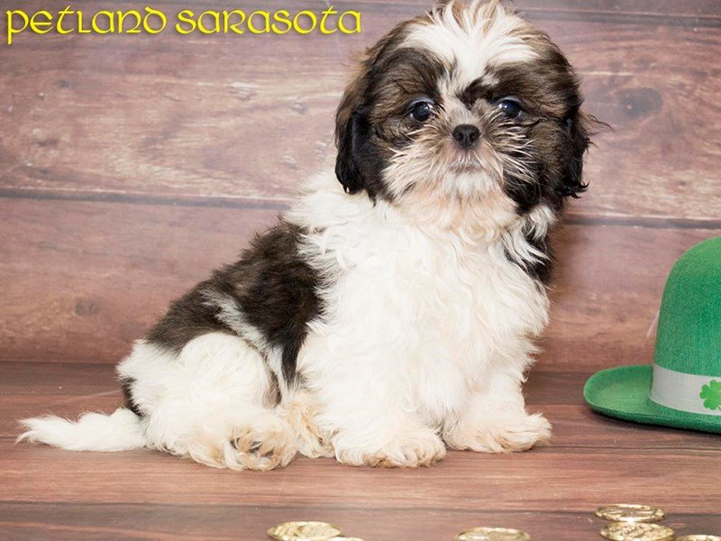Shih Tzu Puppies For Sale This Breed Is Absolutely Fabulous
