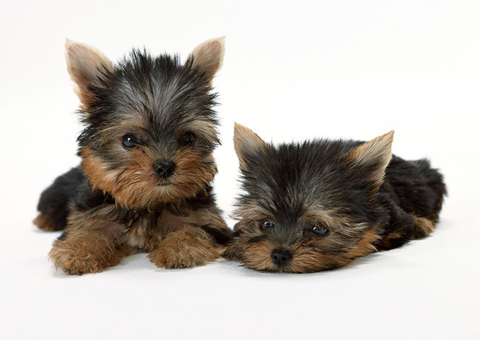 Teacup Puppies For Sale These Teeny Pups Need Extra Loving Petland Sarasota