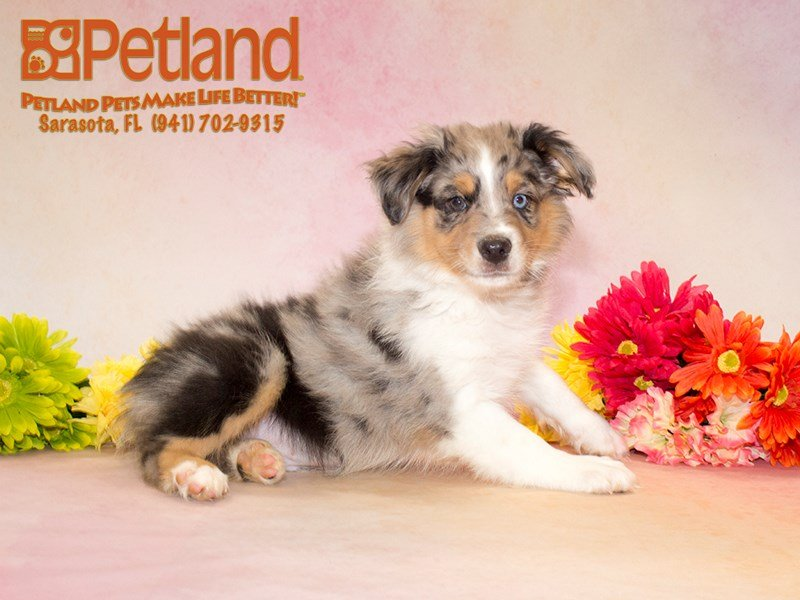 Australian Shepherd Puppies for Sale: Say Hello to Your New Workout