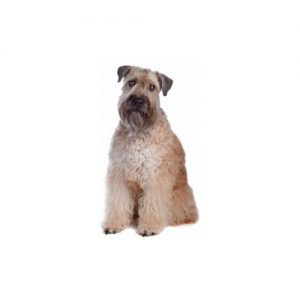 Soft Coated Wheaten Terrier Petland Sarasota Pet Store Dogs and Puppies For Sale