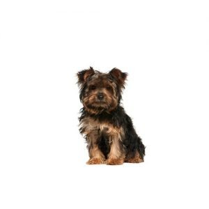Petland Sarasota Pet Store Dogs and Puppies For Sale