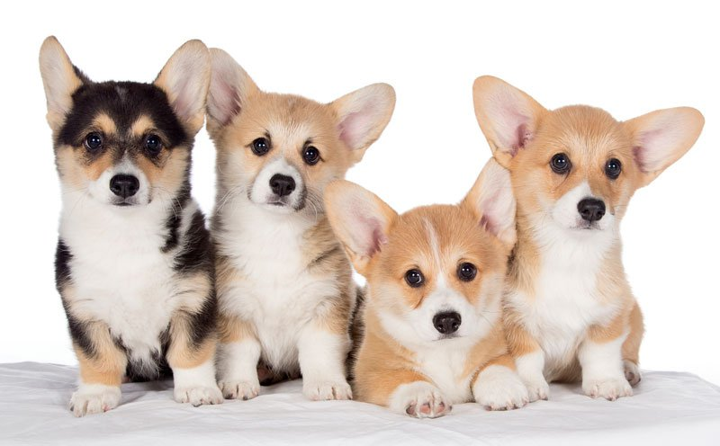 Ideal Small Family Dog