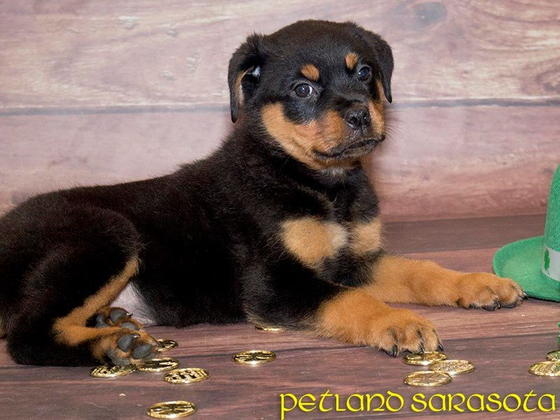 Rottweiler Puppies for Sale: Getting to Know the Rottweiler