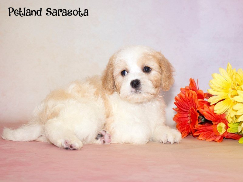 Our Cavachon Puppies for Sale Will Captivate You with Their Charm