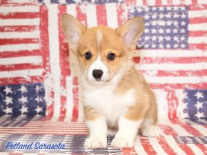 You Can Get Close to Royalty with Our Corgi Puppies for Sale