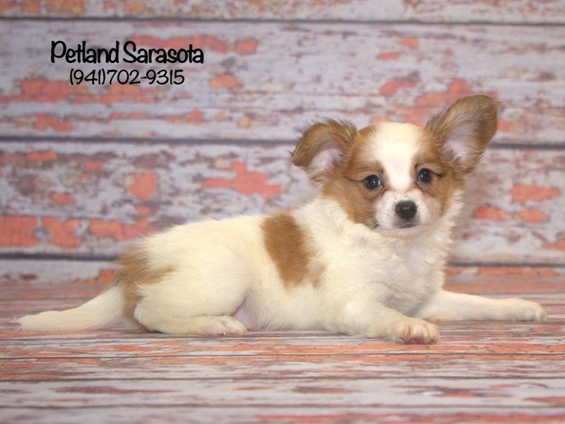 Papillon-Male-SABLE WHITE-1854692-Petland Sarasota