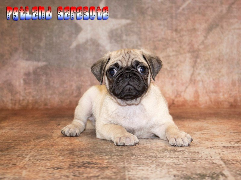 The Rare and Elusive Brindle Pug Puppies for Sale at Petland