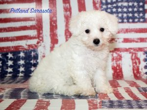 Bichon Frise Puppies May Have a Fancy Name, But Also a Big