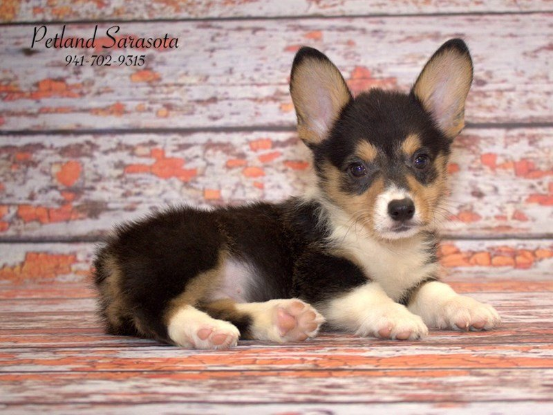 Petland Has The Corgi Puppies For Sale Youve Been Searching For