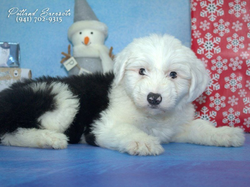 Old English Sheepdog-Male-Black / White-1957785-Petland Sarasota