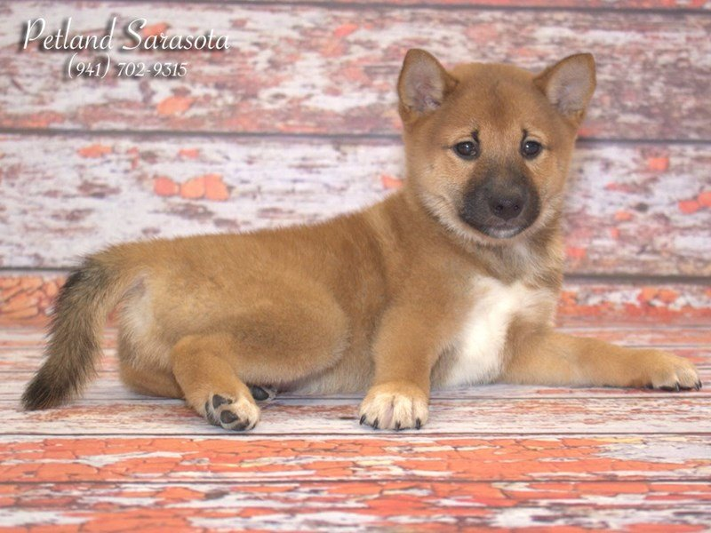 Shiba Inu Puppies For Sale Youve Probably Never Heard Of This