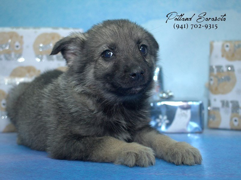 Norwegian Elkhound-Female-GRAY-1957734-Petland Sarasota
