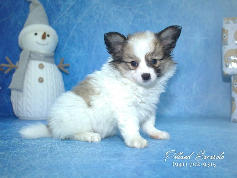 Papillon-Male-SABLE WHITE-1962367-Petland Sarasota