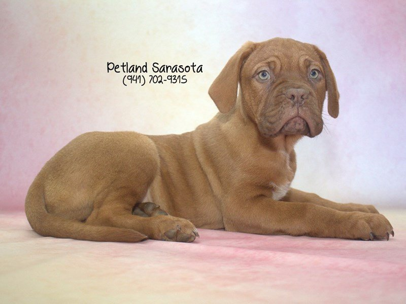 Dogue De Bordeaux-Female-RD-2003217-Petland Sarasota
