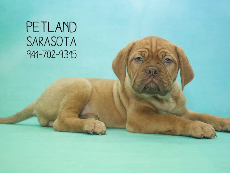Dogue De Bordeaux-Female-RD-2013744-Petland Sarasota