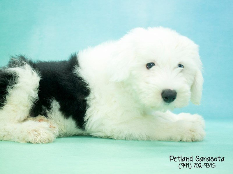 Old English Sheepdog-Female-Black / White-2025935-Petland Sarasota
