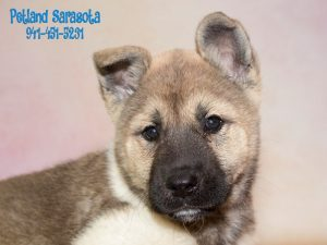 7 Informative And Interesting Facts About Akitas Puppies
