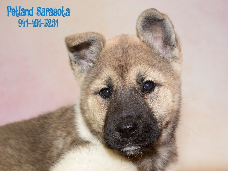 7 Informative and Interesting Facts About Akitas