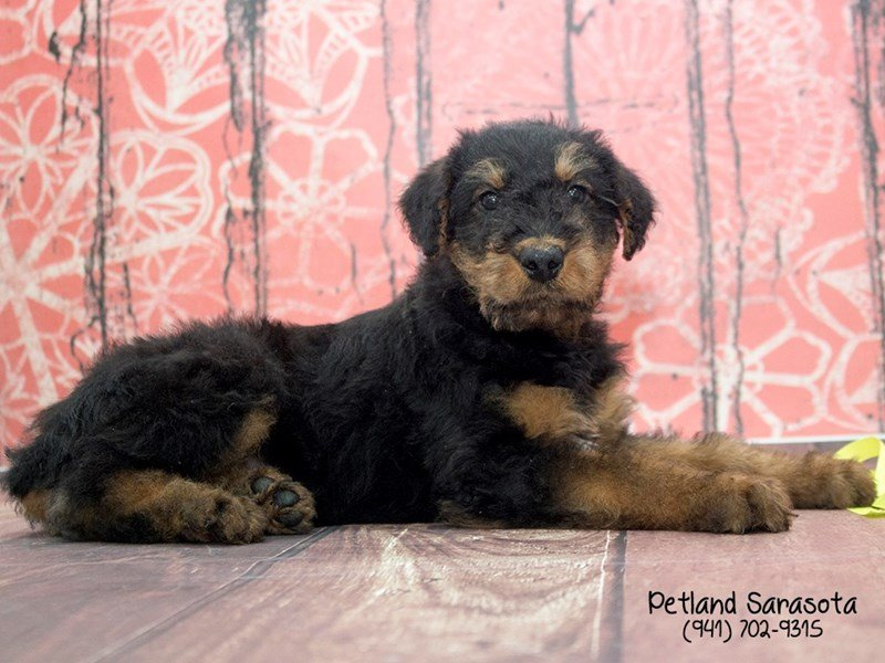 Airedale Terrier-Male-black tan-2053760-Petland Sarasota