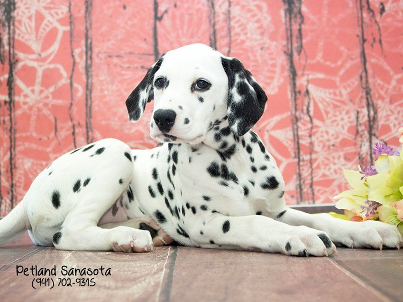 Dalmatian-Female-Black / White-2054722-Petland Sarasota