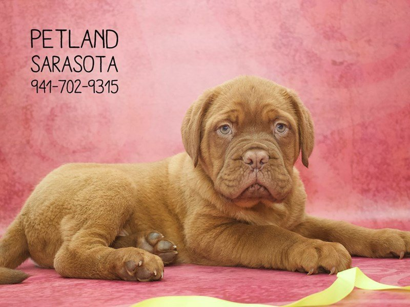 Dogue De Bordeaux-Male-Red-2059905-Petland Sarasota