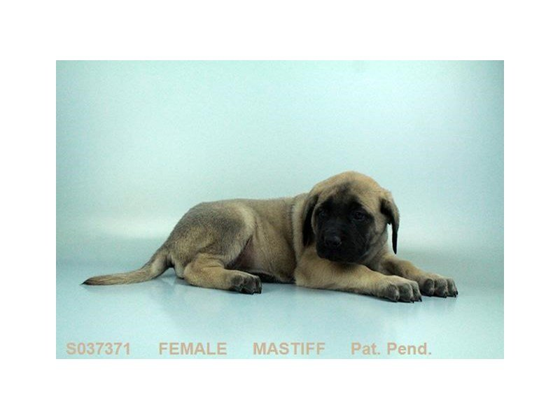 English Mastiff-Female-FN:BLK MSK-2064098-Petland Sarasota