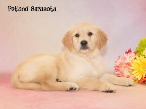 golden retriever petland sarasota
