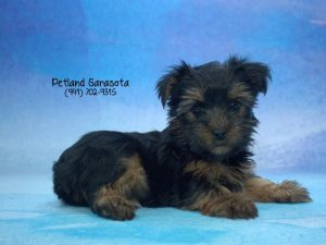7 Fun Facts About Yorkshire Terrier Puppies Petland Sarasota