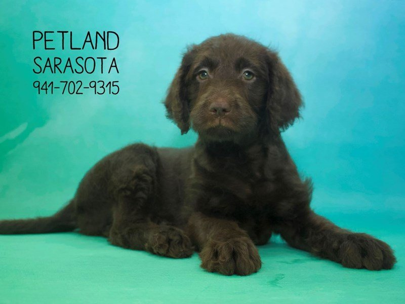 Labradoodle-Female-Chocolate-2064095-Petland Sarasota