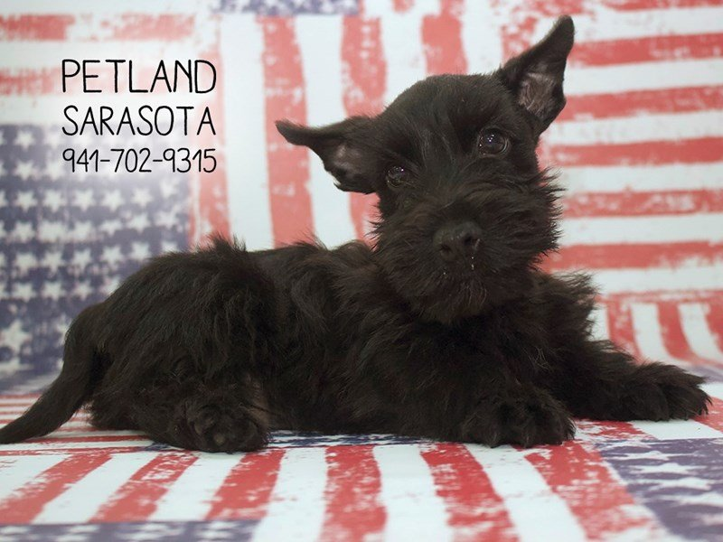 Scottish Terrier-Male-BLK-2089284-Petland Sarasota
