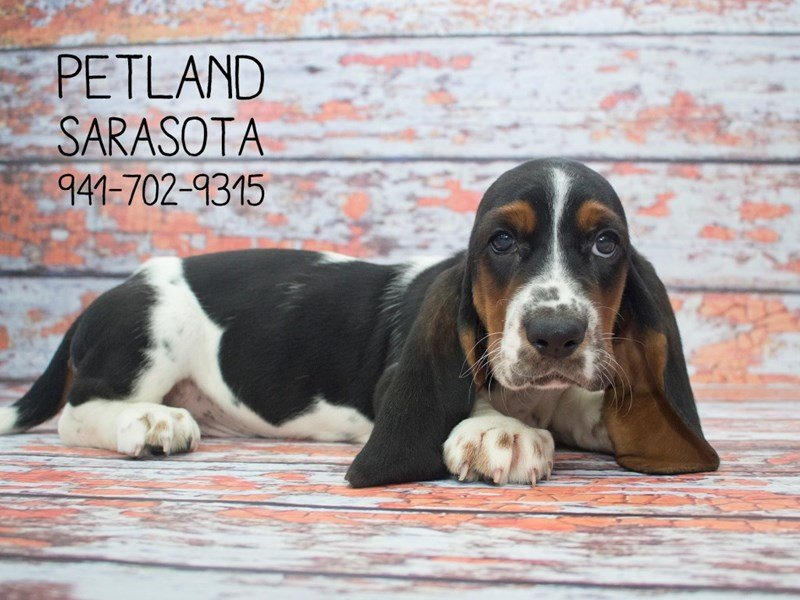 Basset Hound-Male-Black Tan / White-2100436-Petland Sarasota