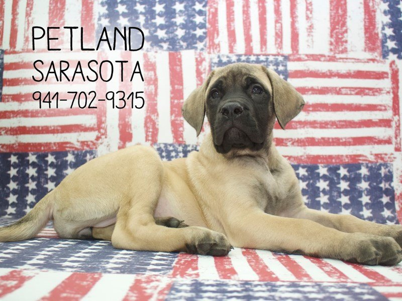 English Mastiff-Female-FN:BLK MSK-2114484-Petland Sarasota