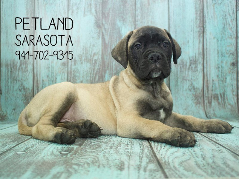 Bullmastiff-Female-Red Fawn-2141864-Petland Sarasota