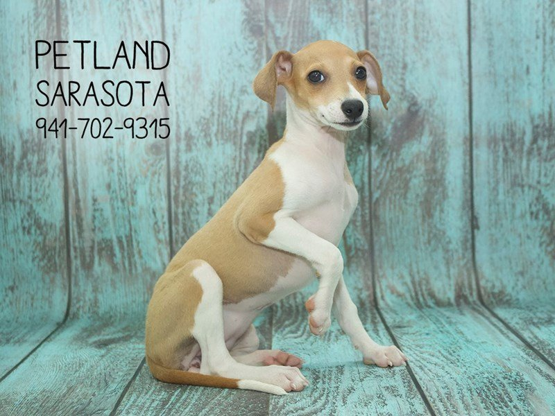 Italian Greyhound-Female-Red Fawn-2141956-Petland Sarasota