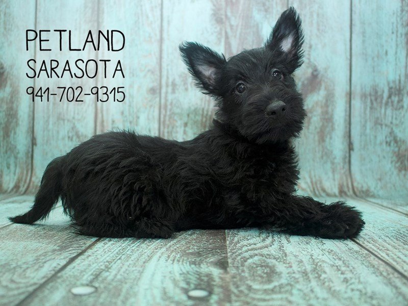 Scottish Terrier-Female-Black-2141867-Petland Sarasota