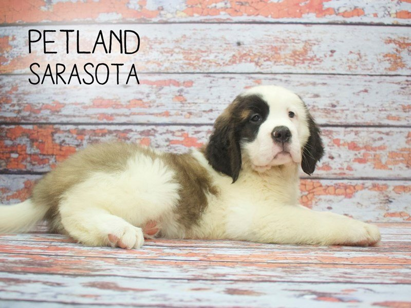 Saint Bernard-Female-Sable White-2166802-Petland Sarasota