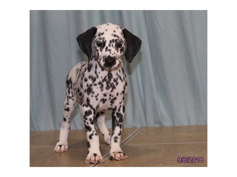 Dalmatian-Female-White / Black-2172094-Petland Sarasota