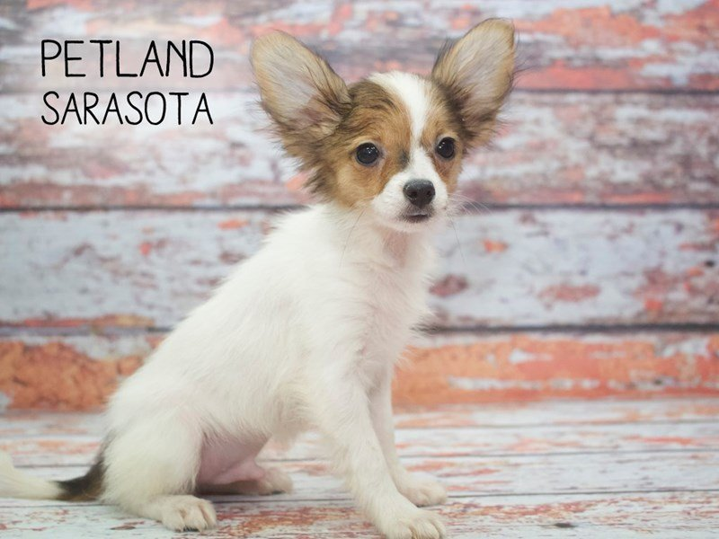 Papillon-Male-SABLE WHITE-2171085-Petland Sarasota