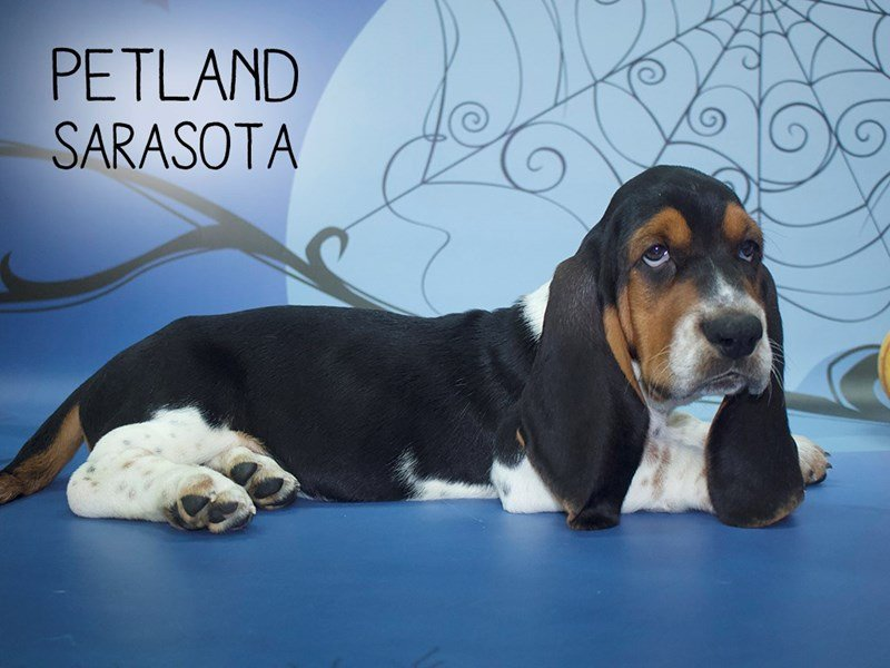 Basset Hound-Male-Black Brown / White-2186993-Petland Sarasota